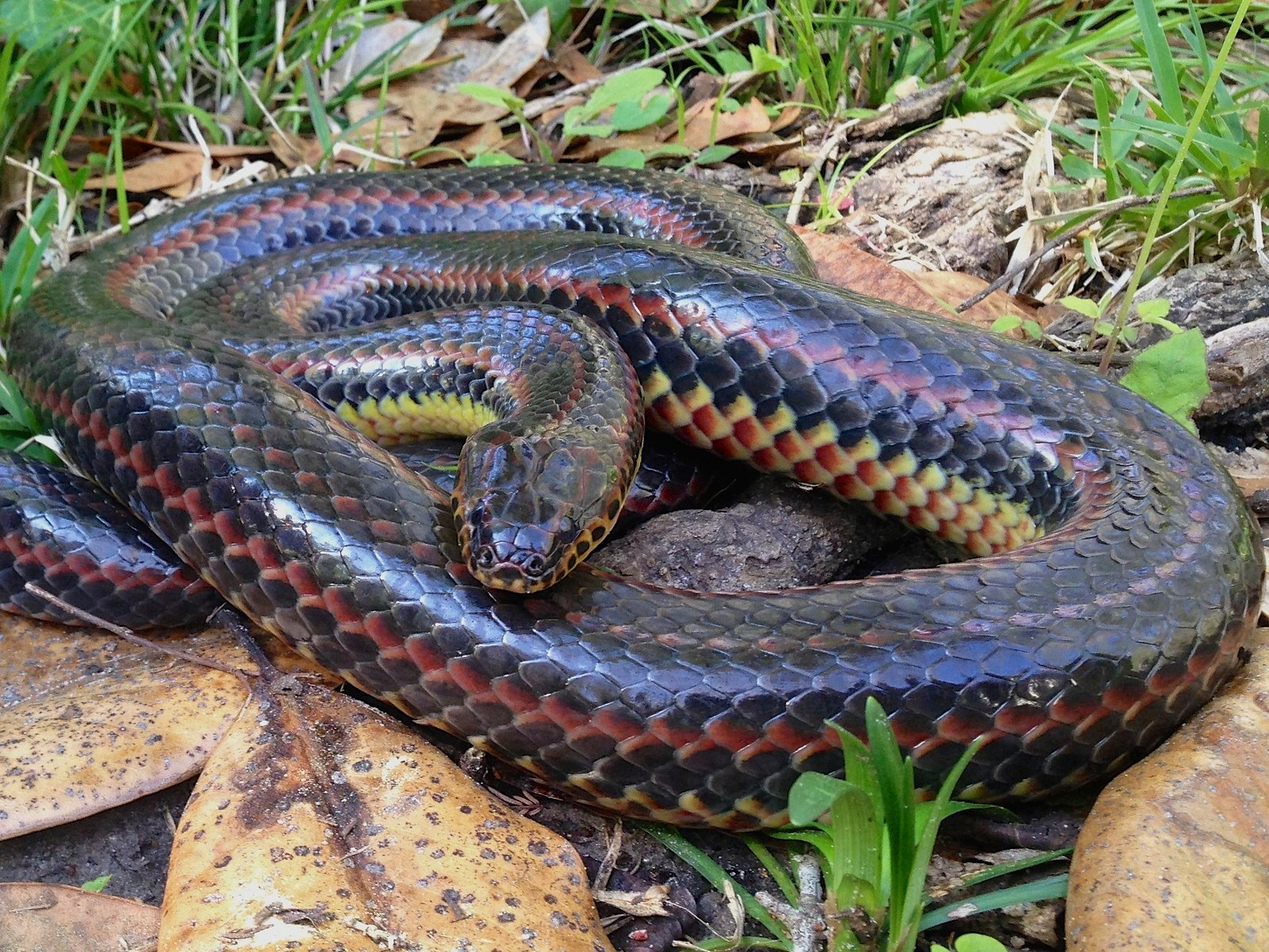 Image result for Rainbow Snake Seen In Florida's Ocala National Forest For First Time Since 1969