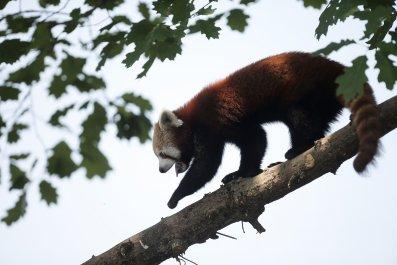 Red Panda. Zoom Torino