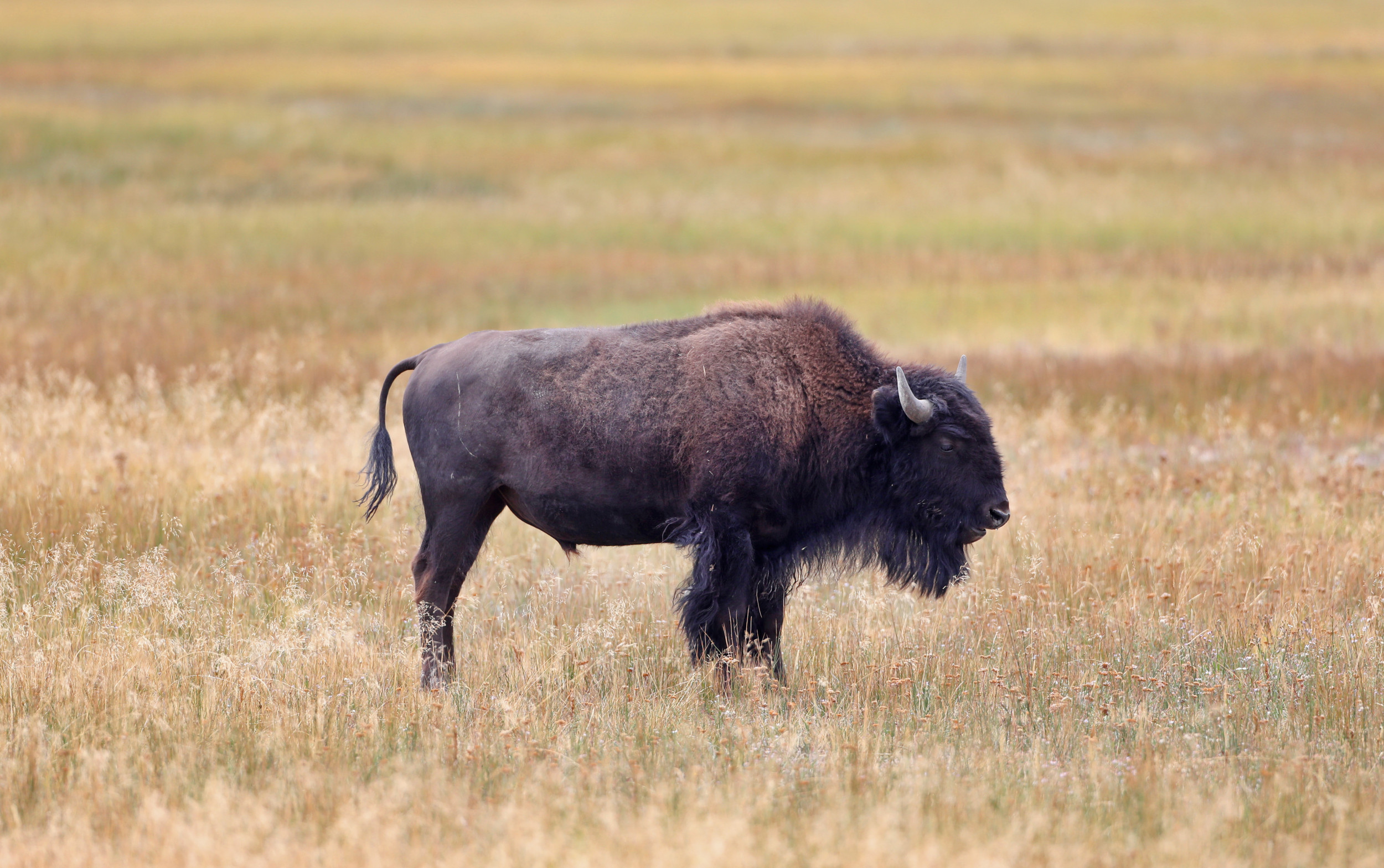 Hundreds of Bison Migrating Out Of Yellowstone To Be Hunted Down Under Government-Sponsored Slaughter