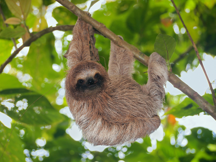 Rare Video Captures The Incredible Moment A Baby Sloth Is Born