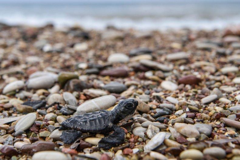 Loggerhead turtle on Greek beach