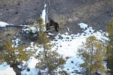 First Yellowstone grizzly of 2020