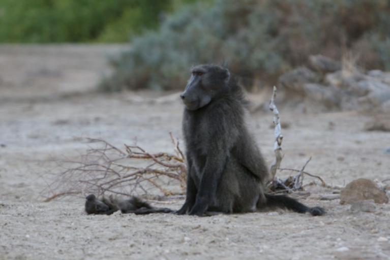 baboon infant corpse