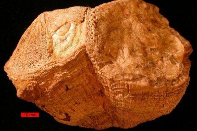 Fossil rudist bivalves (Vaccinites)