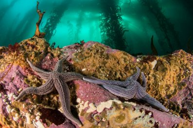 Starfish in the kelp forest