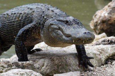 American  Alligator in Everglades Alligator Farm