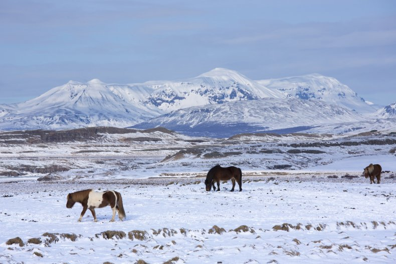 Herd of Icelandic ponies grazing in glacial landscape of South Iceland.