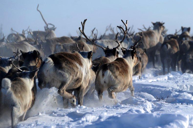 Reindeers in Yamalo-Nenets region of northern Russia