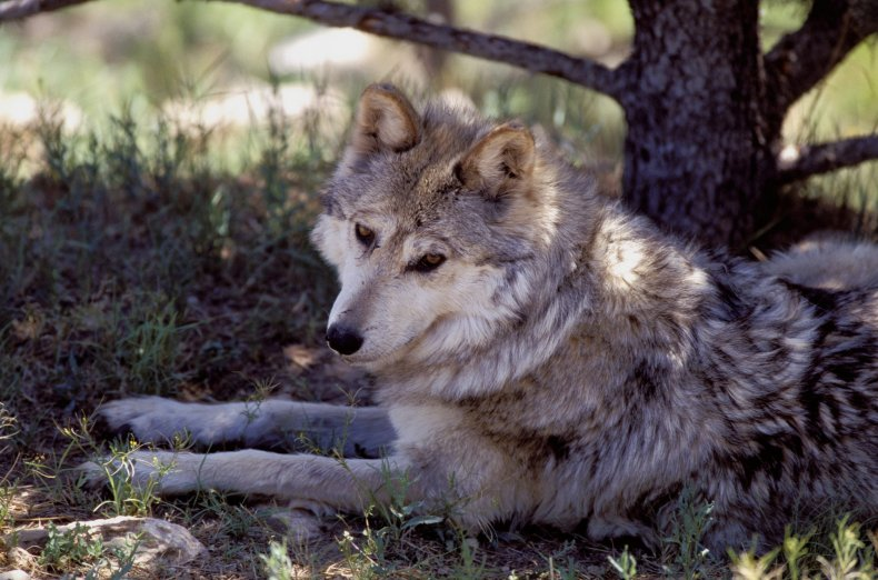 Mexican gray wolf at Living Desert State Park