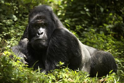 Endangered mountain Silverback Gorilla rests in forest