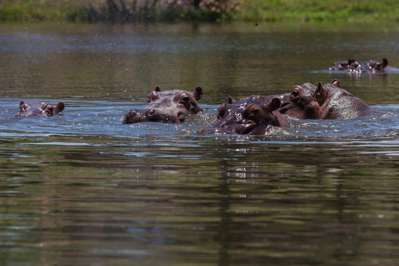 Pablo Escobar hippos