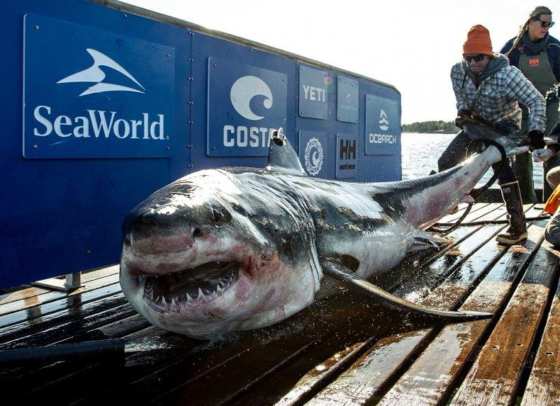 great white shark, Ironbound