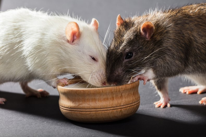 Two rats drinking