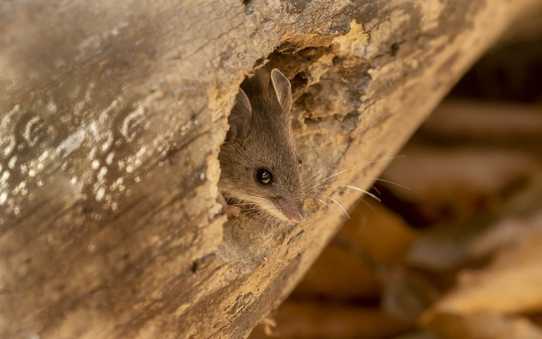 north american deer mouse, hantavirus, stock, getty