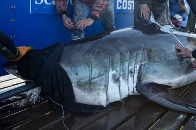 ironbound great white shark