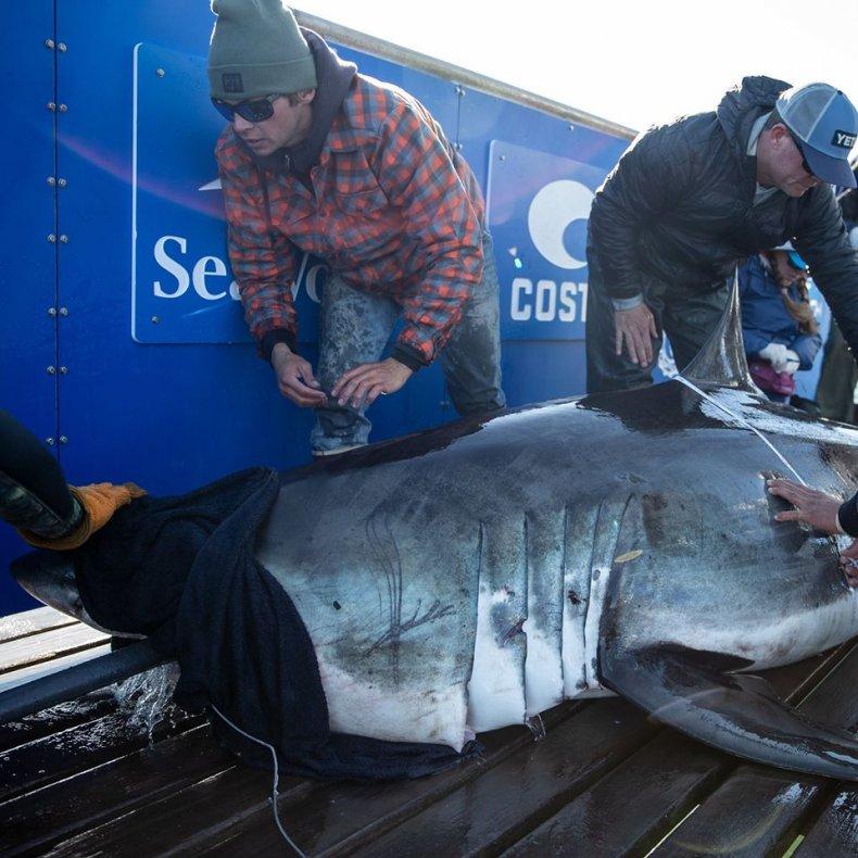 ironbound great white shark