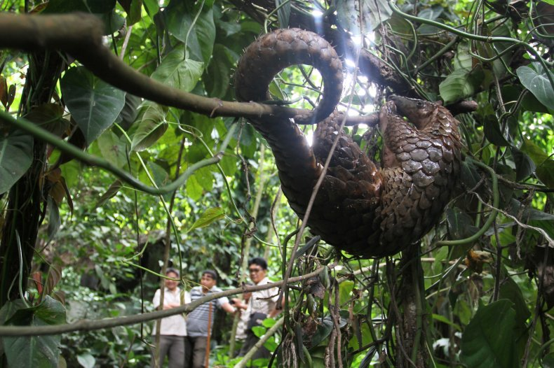 Pangolin hanging on tree