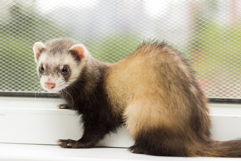 The FDA is Spending 0,000 Testing the Coronavirus on Ferrets