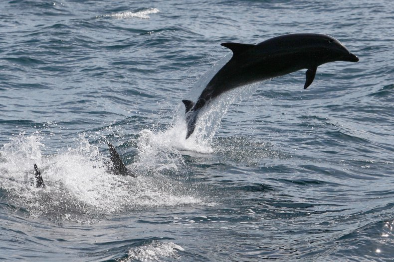 Bottlenose dolphin leaps out ocean