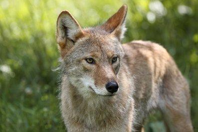 Coyote (Stock)