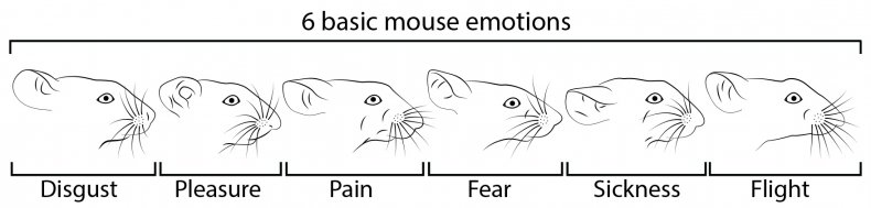 Facial expressions in mice