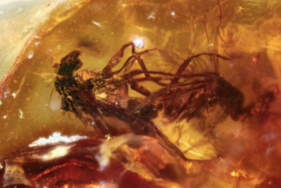 Mating flies trapped in amber