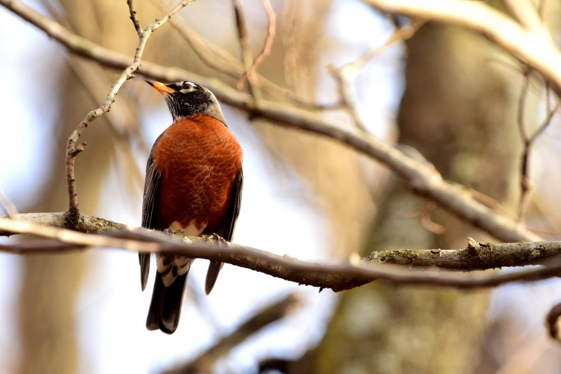 An American robin perched on a thin branch