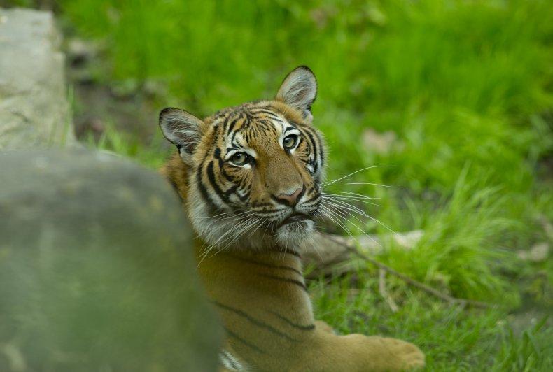 Malaysian Tiger Cub