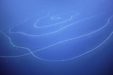 siphonophore, Apolemia