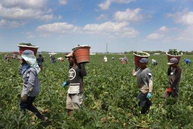 Florida Farmers Harvest Zucchini Amid Pandemic