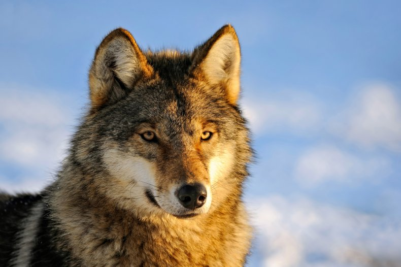 Almost all of the wolves on one Alaskan island were killed by trappers this winter