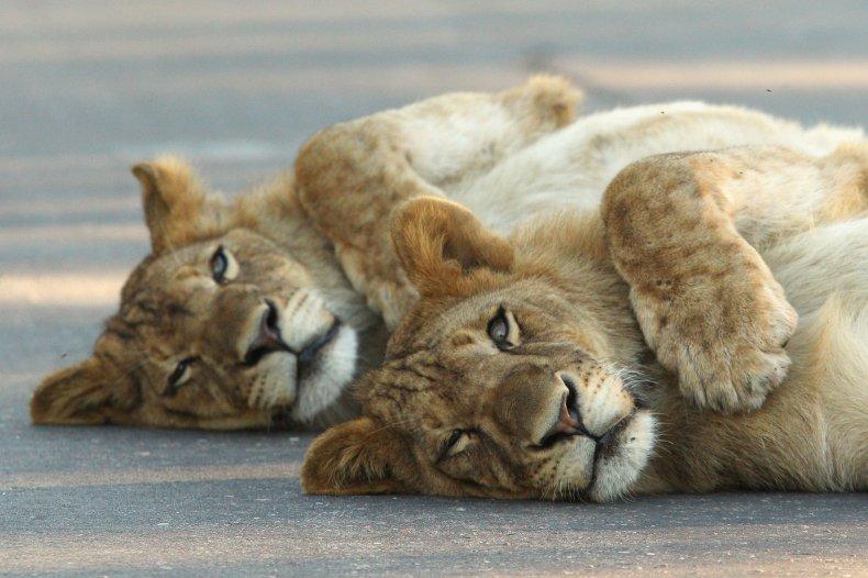 Lions in Kruger Park