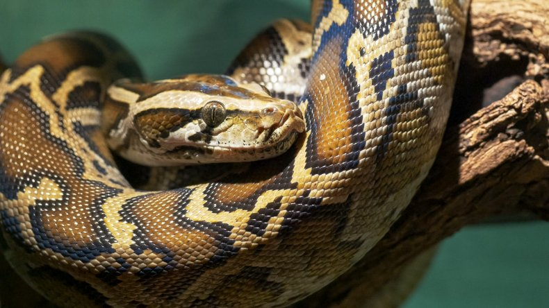 Stock image of Burmese python