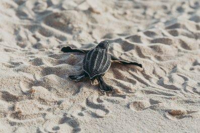 Baby Leatherback Turtle Hatchling