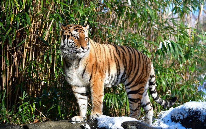 Getty Images Amur Tiger