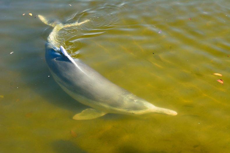 Australian humpback dolphins
