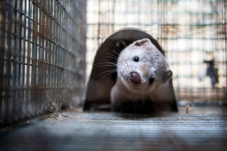 Minks are pictured in their cages at a fur farm