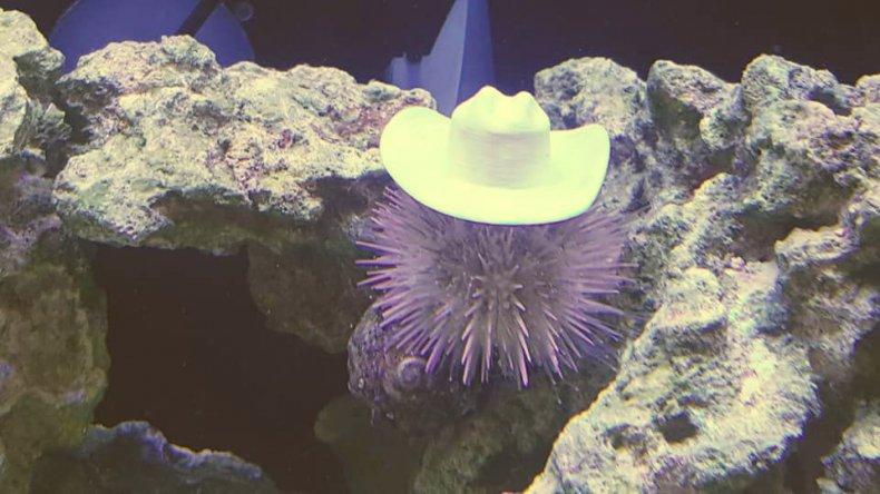 sea-urchin-cowboy-hat
