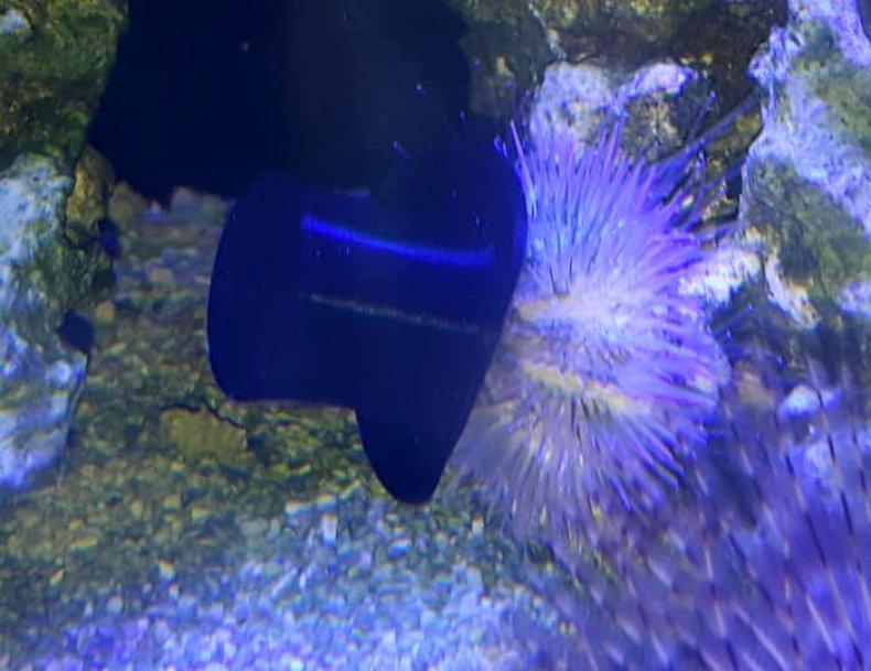sea-urchins-top-hat