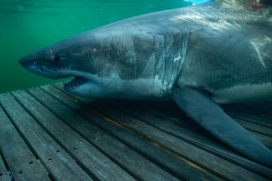 Unama'ki Shark