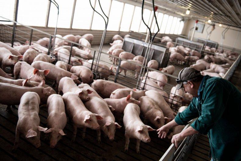 Pig farm in Illinois