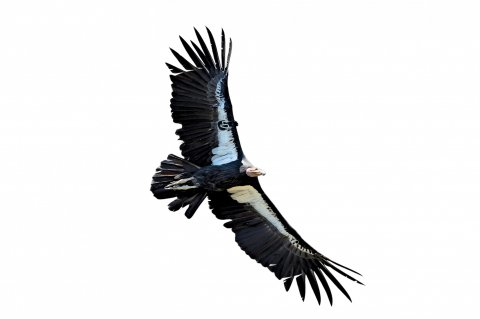 CUL_Uncharted_Animals_Condors
