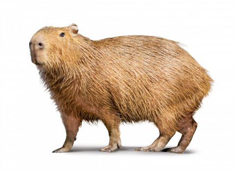 CUL_Uncharted_Animals_Capybaras
