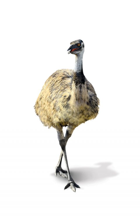 CUL_Uncharted_Animals_Emus