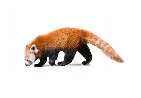 CUL_Uncharted_Animals_RedPandas