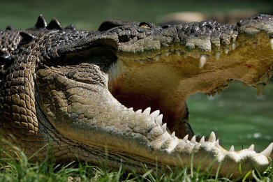 Saltwater Crocodile is pictured at the Australian Reptile Park