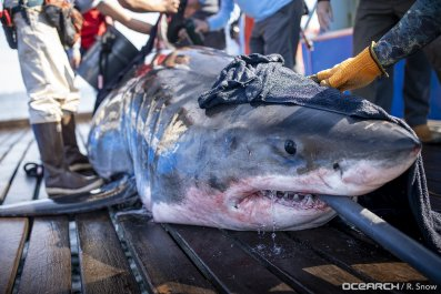 great white shark, Unama'ki