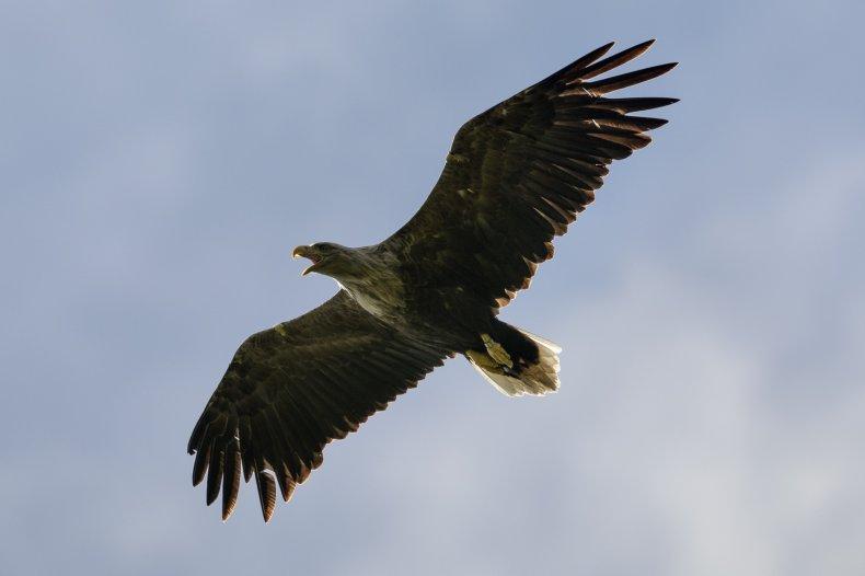 White-tailed eagle takes flight in Scotland