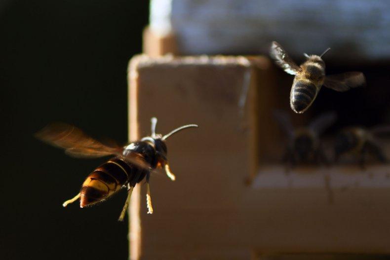 asian-murder-hornet