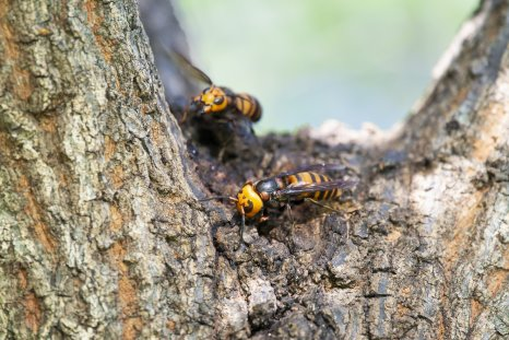 Asian giant hornets make its nest on a tree trunk.